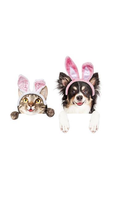 宠物 狗 牧羊犬 猫咪 兔耳朵