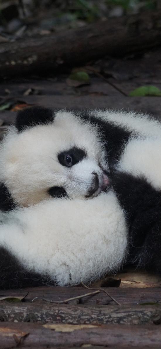 国宝 熊猫 幼仔 嬉戏