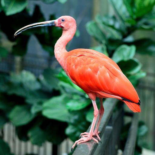 红鹮 美洲 羽翼 鲜红 观赏