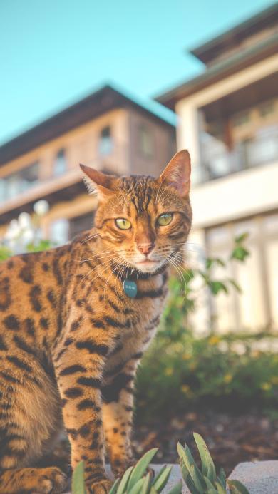 孟加拉猫 项圈 猫咪 皮毛 宠物
