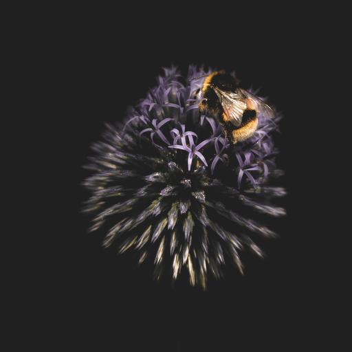 鲜花 蜜蜂 采蜜 特写