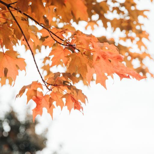 枝葉 楓葉 紅楓 秋季