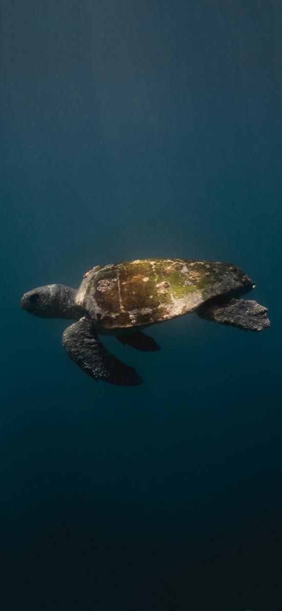 海龟 海底 苔藓 龟壳 游动