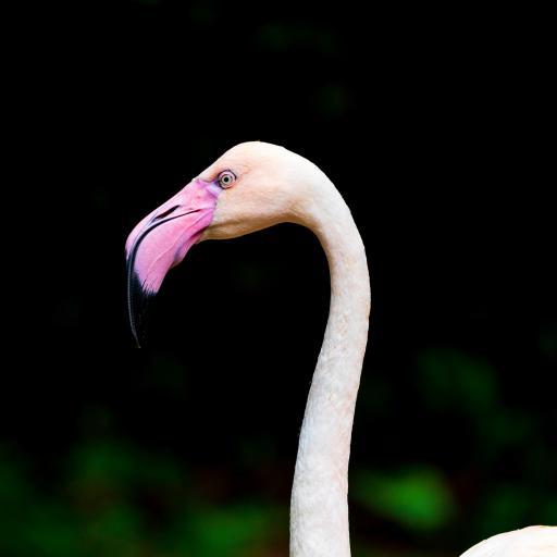 飞禽 火烈鸟 保护动物 粉色嘴
