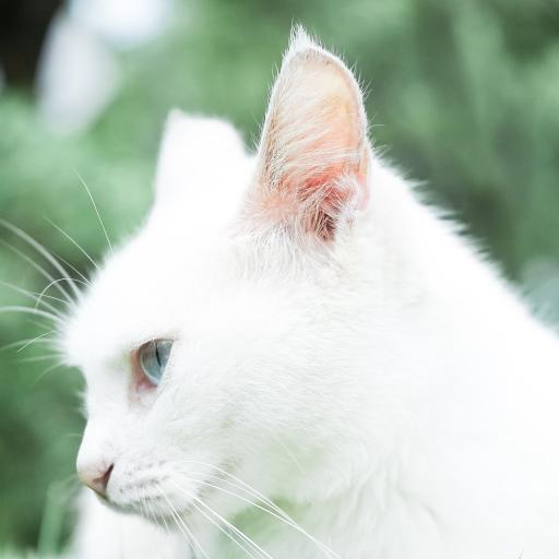 白猫 猫咪 宠物 可爱 喵星人 萌