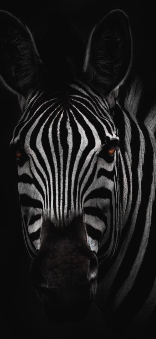 斑马 黑白 特写 斑纹