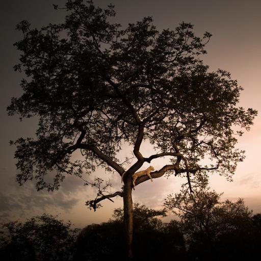 大树 树干 猎豹 休憩 趴着