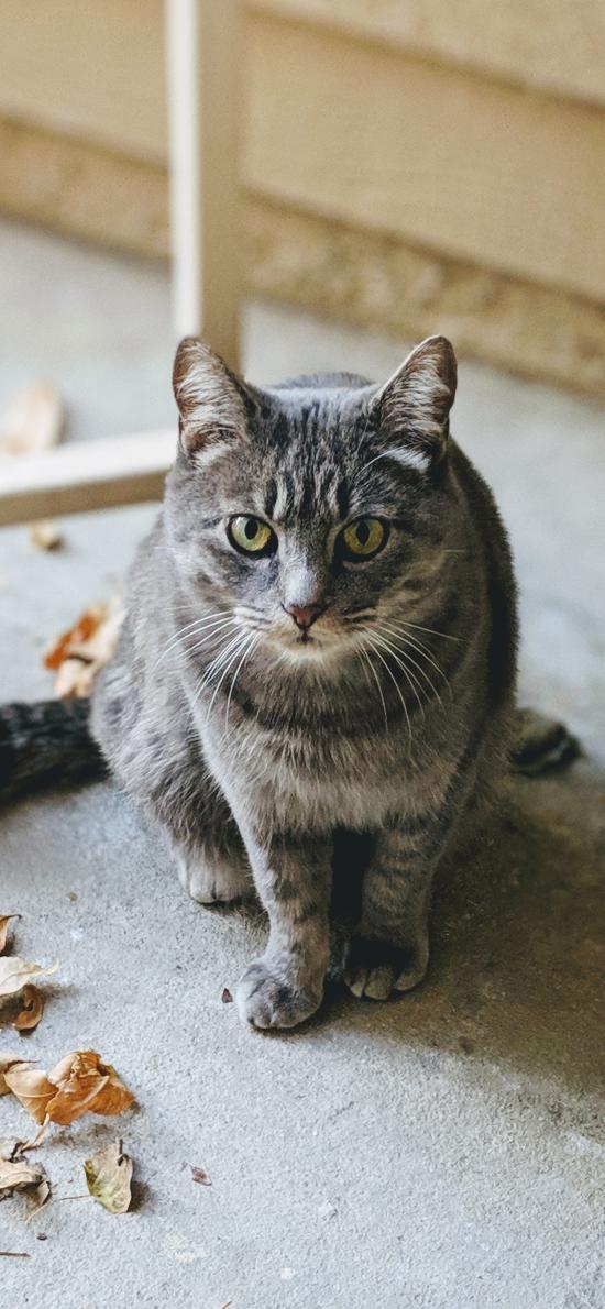 猫咪 落叶  宠物 灰猫