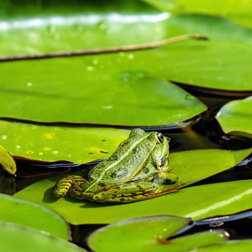 青蛙 绿色 池塘 荷叶