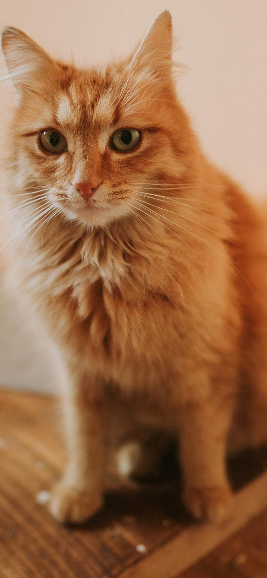 橘猫 皮毛 宠物 猫咪