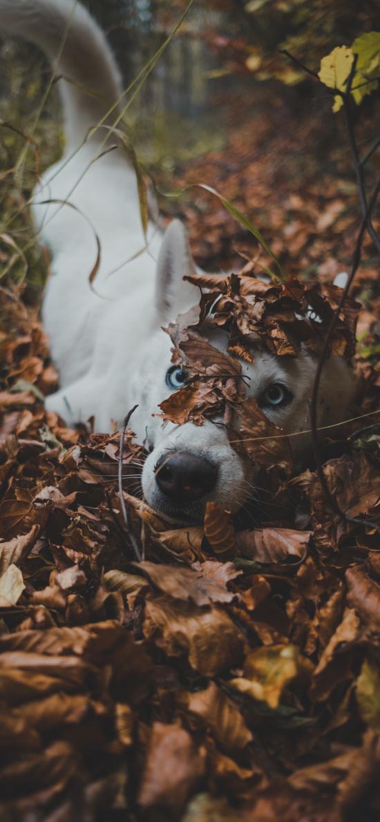 哈士奇 落叶 玩耍 户外 宠物
