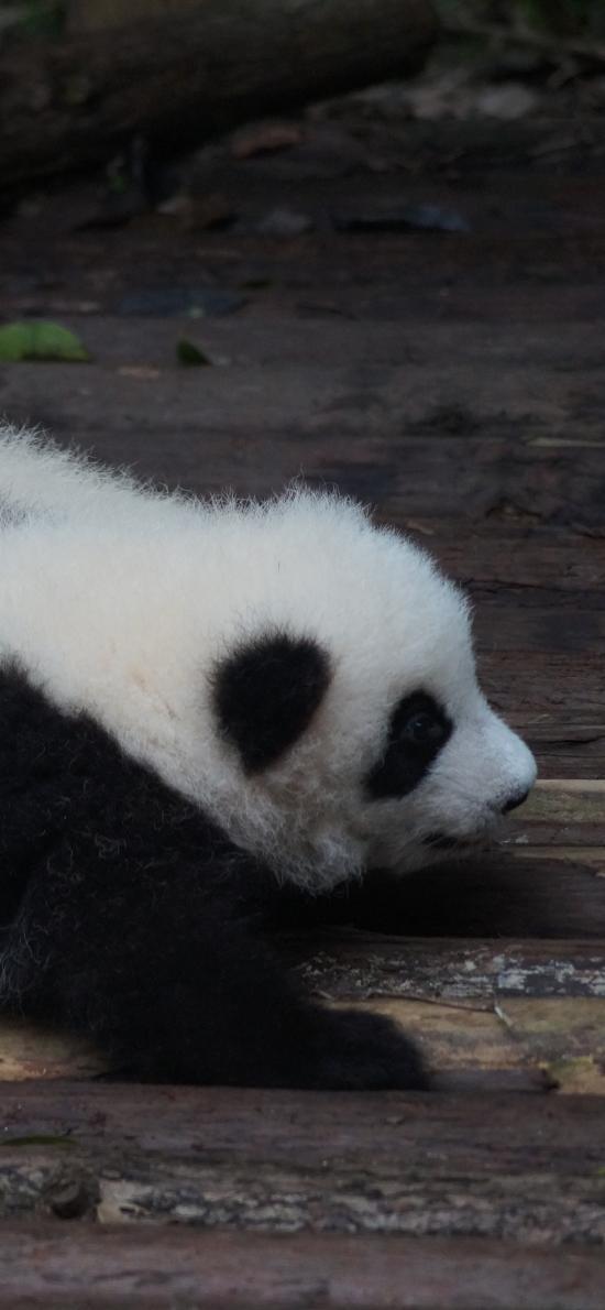 国宝 熊猫 幼仔 可爱