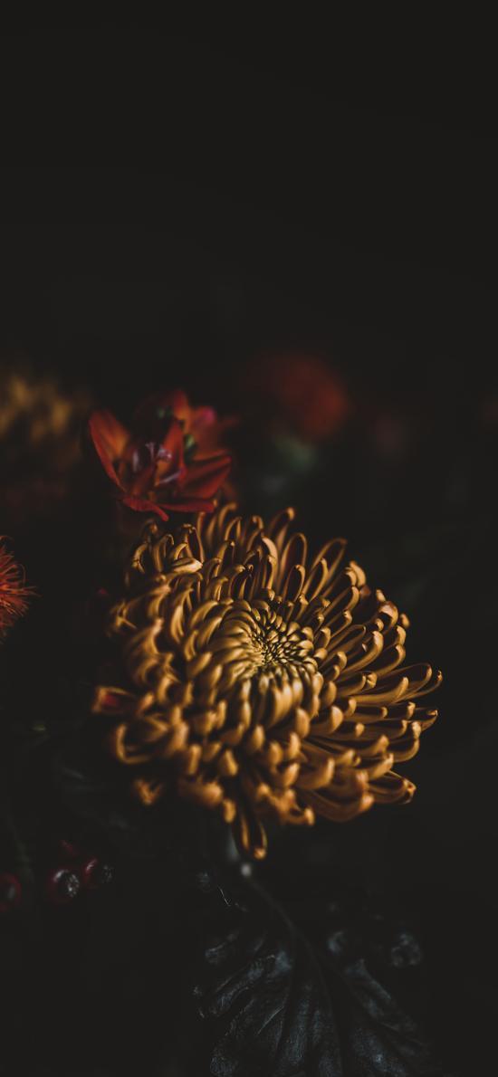 特写 菊花 花瓣 花朵