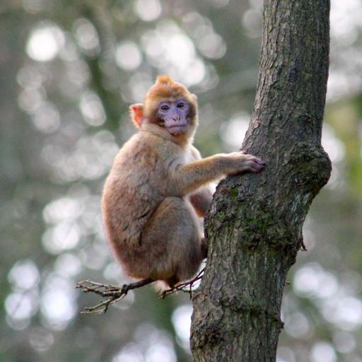 猴子 树干 皮毛 灵长类