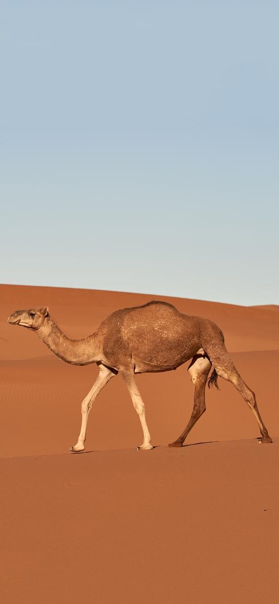 沙漠之舟 骆驼 储水 代步