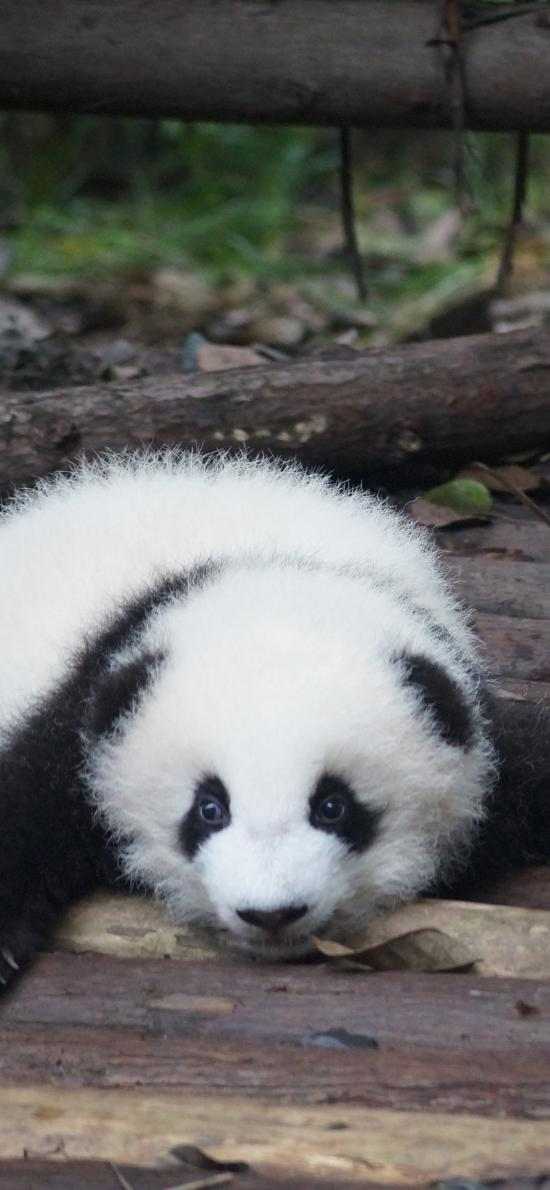 国宝 熊猫 幼仔 趴着 黑白 可爱