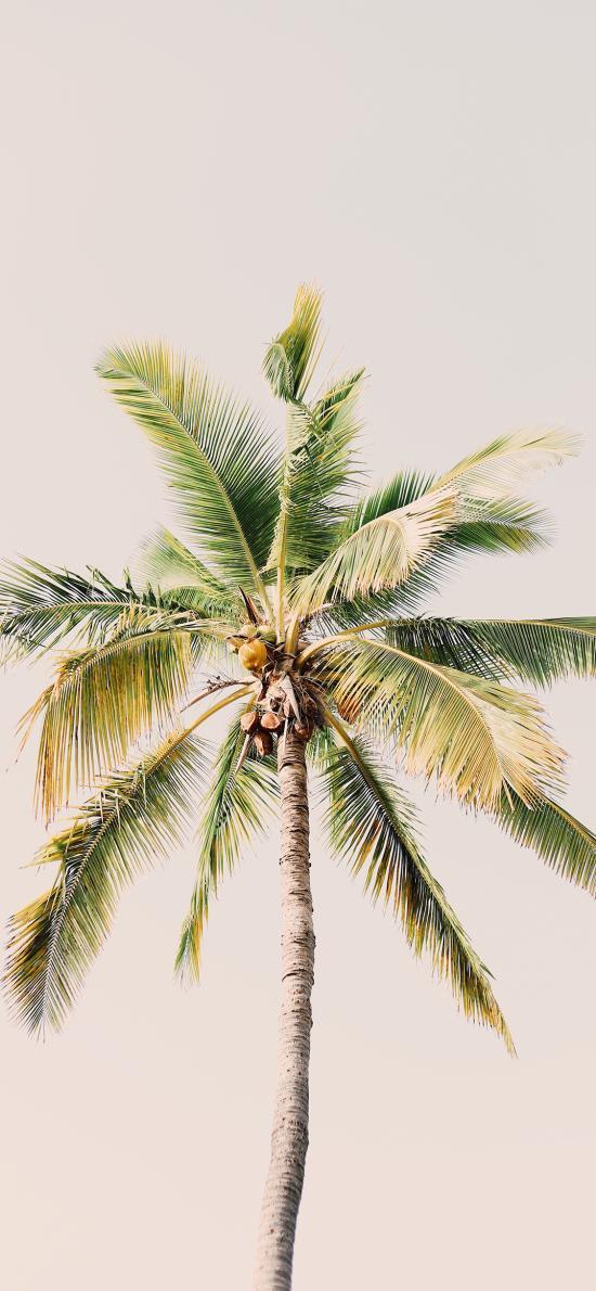 椰树 树叶 热带 笔直