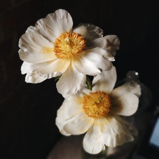 鮮花 花朵 盛開 花蕊