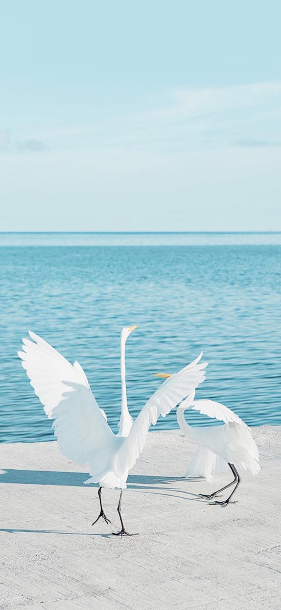 大海 岸边 白鹤 仙鹤 展翅