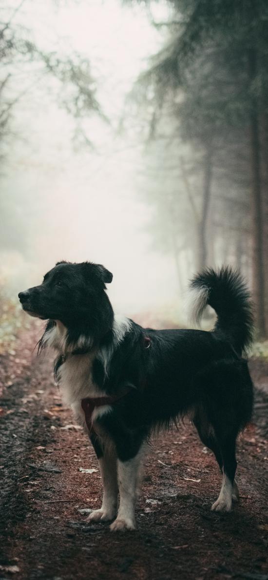 宠物 野外 牧羊犬 狗