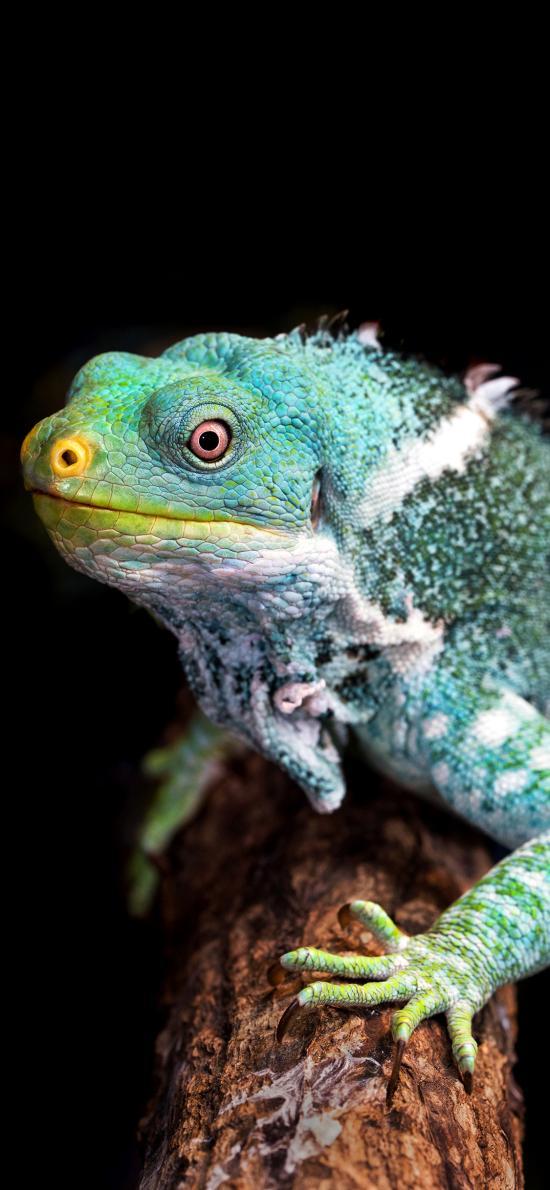 中国水龙 蜥蜴 宠物 鳞片