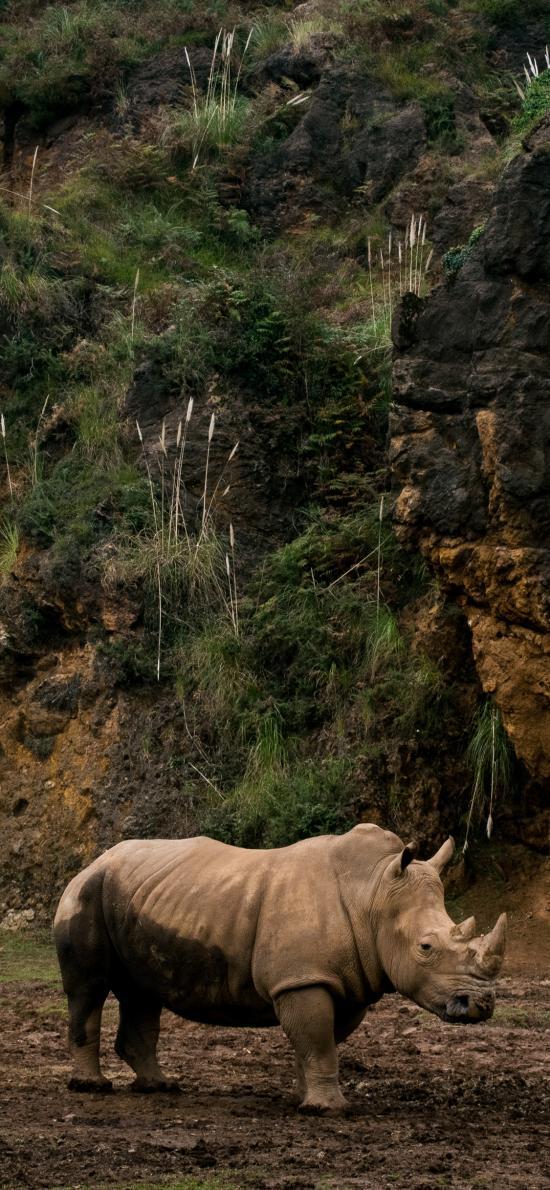 郊外 非洲 犀牛 野生