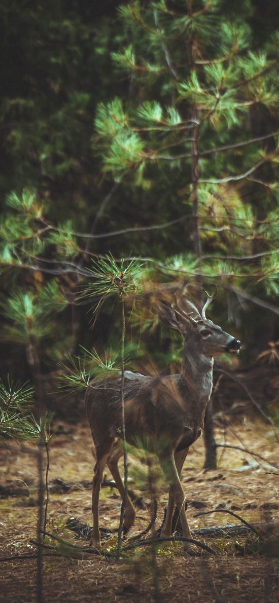 鹿 树林 松叶林 野外