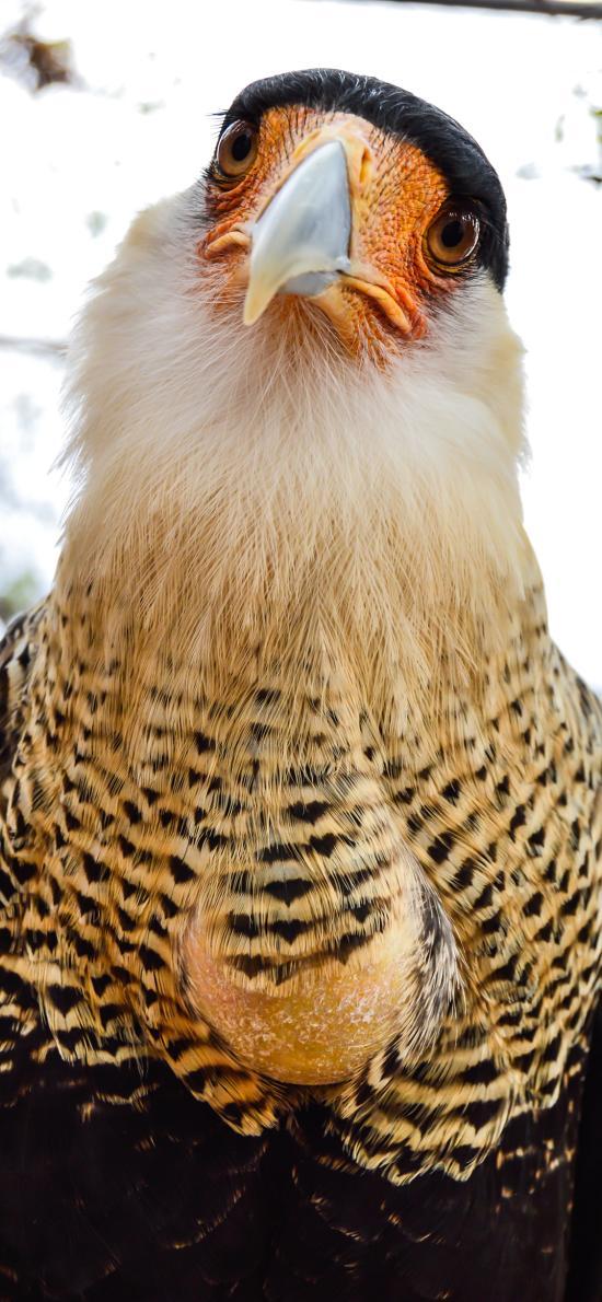 鸟类 羽毛 老鹰 缘