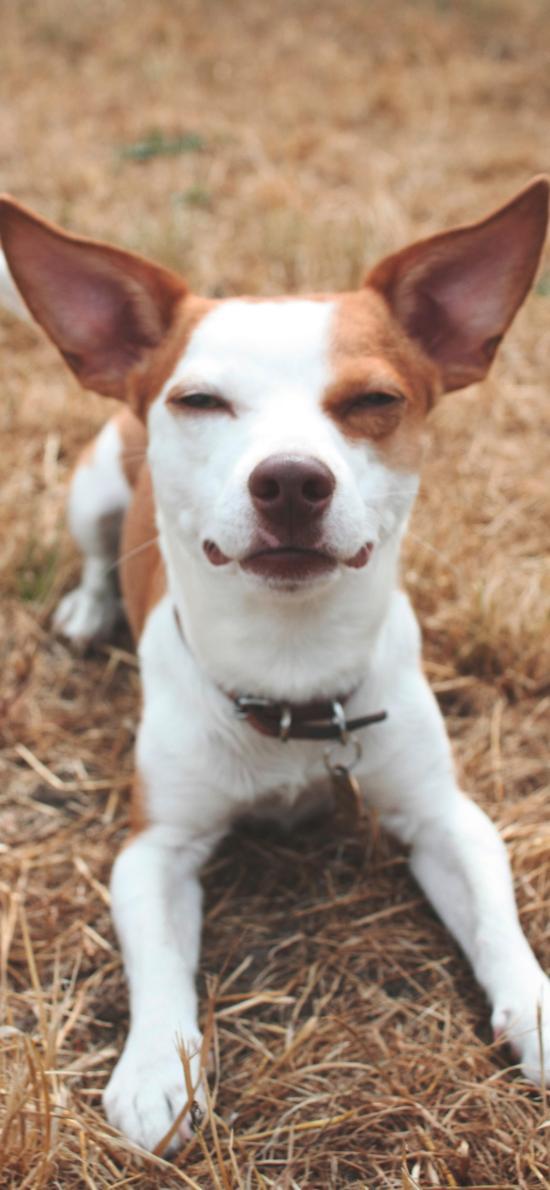 宠物 狗 犬类 项圈