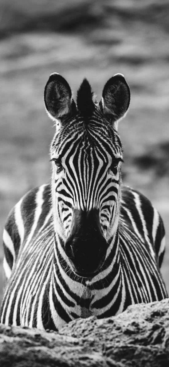 斑馬 黑白 野外 牲畜