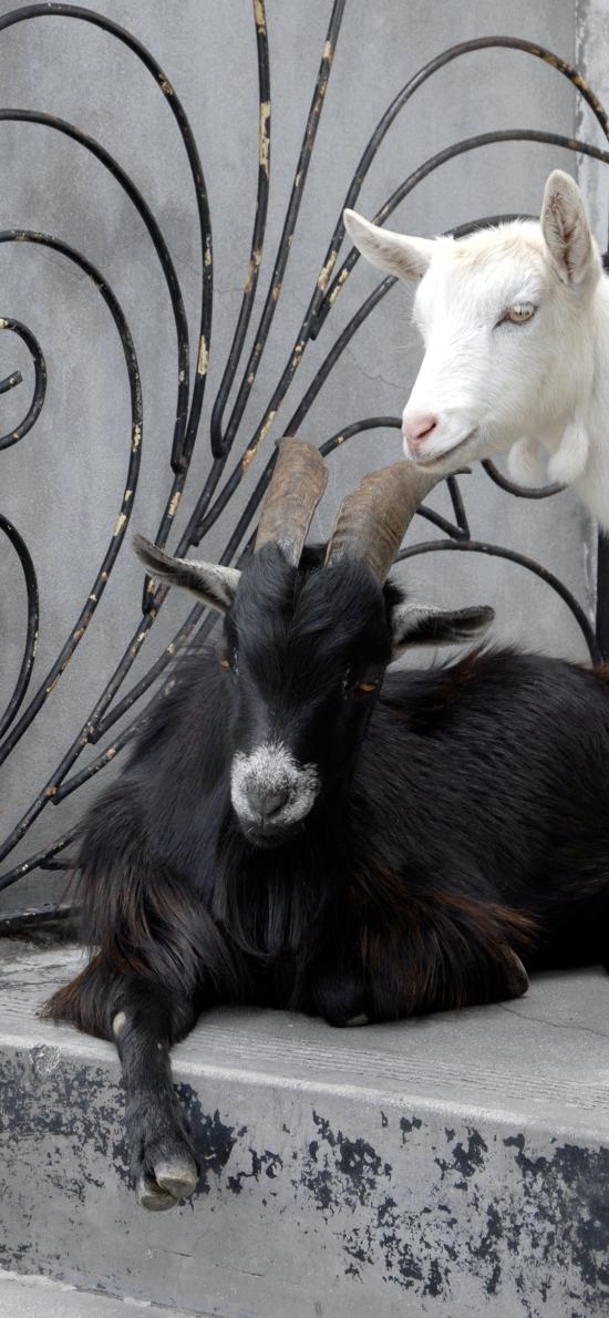 羊 黑羊 階梯 白羊 品種