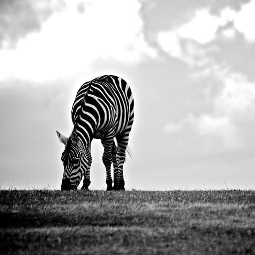 斑马 黑白 条纹 吃草 觅食