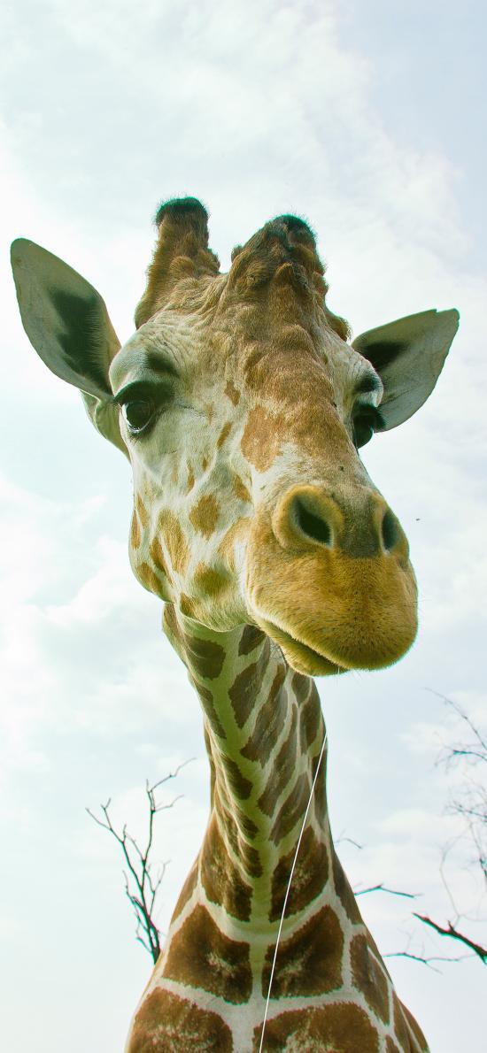长颈鹿 可爱 萌 斑纹 特写