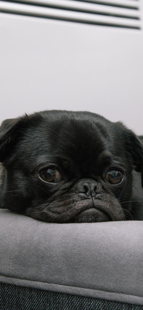 巴哥 黑狗 宠物 汪星人 可爱 犬