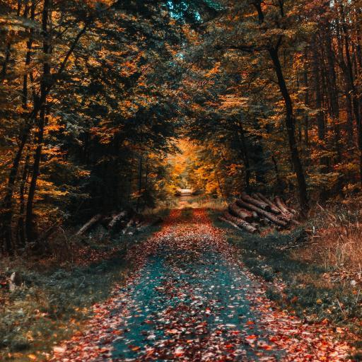 秋季 季节 落叶 枯黄 树林
