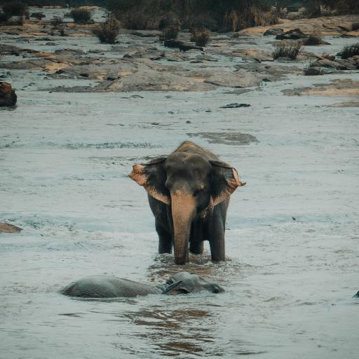 大象 河水 过河 野外