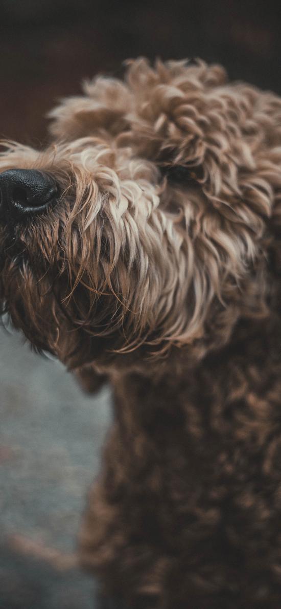 犬类 宠物 皮毛 雪纳瑞 狗
