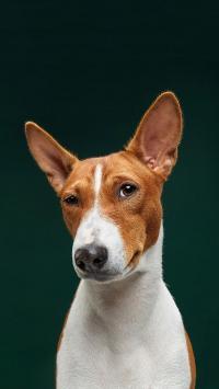 宠物狗 写真 立耳 可爱