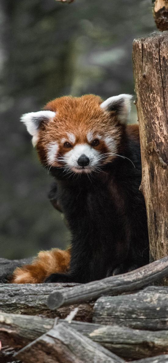树桩 小熊猫 红棕 可爱