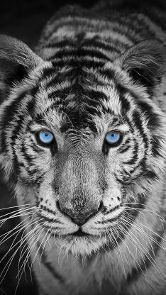白虎 老虎 猛兽 蓝瞳