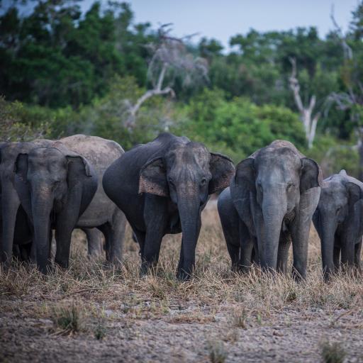 大象 野外 草地 群象