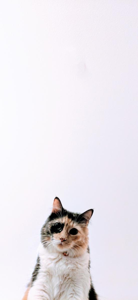 猫咪 宠物 皮毛 花色