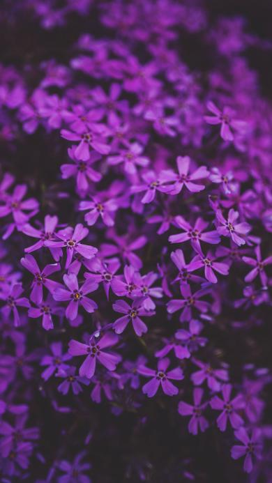 紫色 鲜花 花丛 鲜艳 盛开