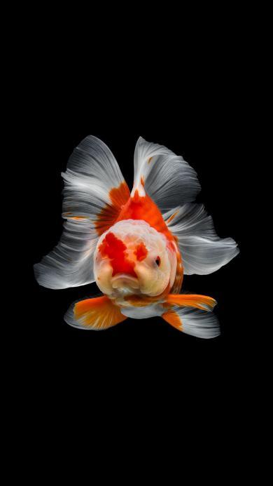 金鱼 可爱 萌 尾巴
