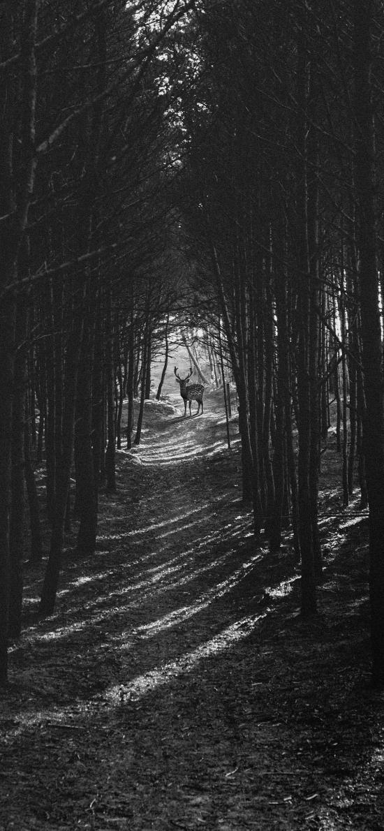森林 梅花鹿 保护动物 黑白