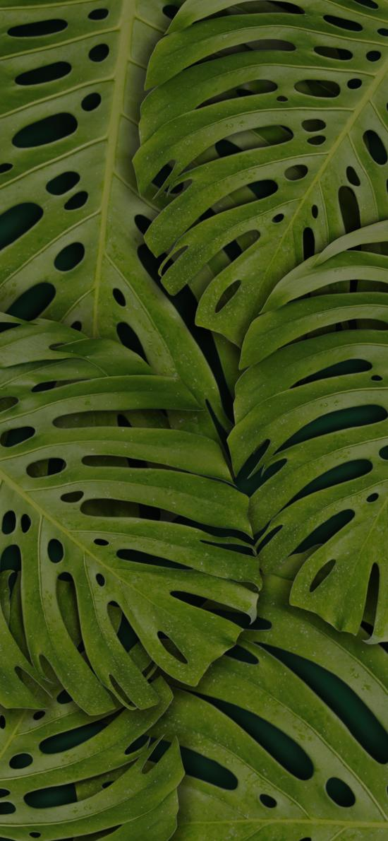龟背竹 绿色 叶子 平铺