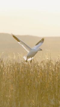 郊外 草丛 飞禽 野鸭 白色 展翅
