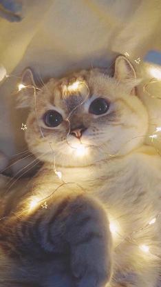 宠物猫 折耳猫 可爱 小灯