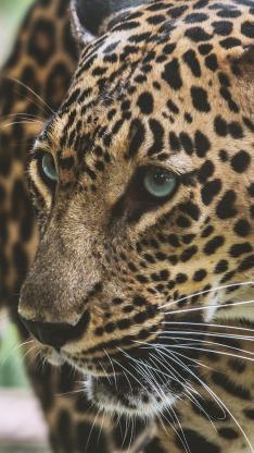 豹 凶猛 猛兽 斑纹