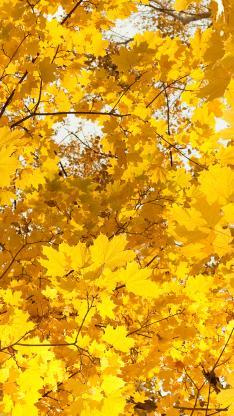 秋天 枯黄 树叶 黄色